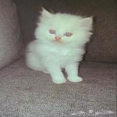 قطط كيتنز كيوووت (هيميلايا شيرازي)