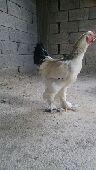 دجاج براهما كلومبي انتاج خوارج عمر 7شهور