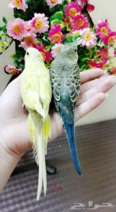 أجمل طيور الجنة أليف جدا ومغرده مناسبه للأطفا