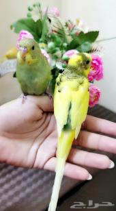 أجمل زواج طيور البادجي أليف جدا مغرد تغريدحلو