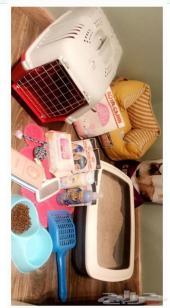 قطة شيرازي هاف مون للبيع