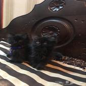 قطط شيرازي للبيع لون اسود