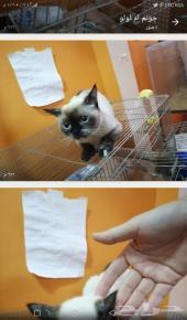 قطة هيمالايا  انثى