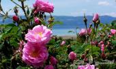 دهن ورد سويسري فاخر رائحة دهن الورد الطائفي .