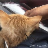 قطة شهرين ونص مشاء الله لعوب مره ذكر