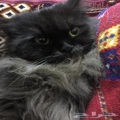 قطه شيرازي اليف بين الاطفال أنثى