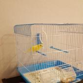 عصفور بادجي أنثى بصحة ممتازة