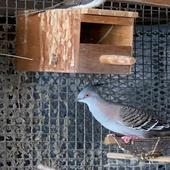 خلخليت Crested Pigeon
