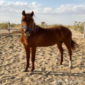 حصان واهو مكس