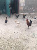 دجاج وحمام للبيع