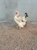 دجاجة براهما