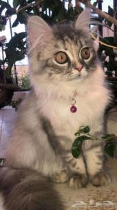 قطه شيرازي فرنسي