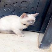 قطة انثى همالايا عمرها 3 أشهر ونص