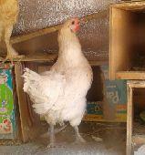 دجاجة بياضة وحضانة