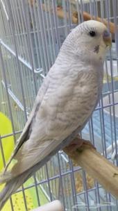 ذكر بادجي ( طيور الحب )