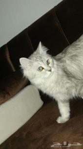قطه أنثى شيرزاي للبيع