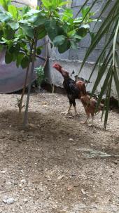دجاجة مع صوصها