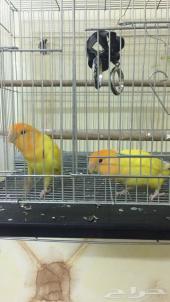 طيور رواز أوأبلالين