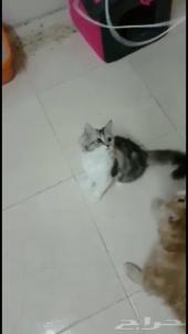 قطط شيرازيه بحفرالباطن