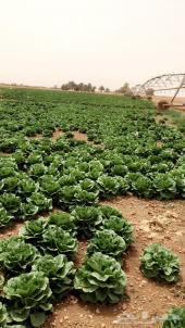 محاصيل زراعيه للبيع
