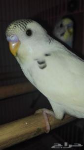طيور بادجي للبيع عرض 50 ريال فقط