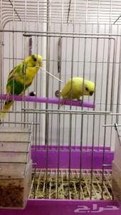 زوج طيور الحب