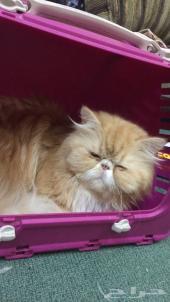 قط بيكي فيس مستوى عالي