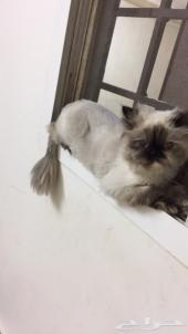 قطة هيملايا شوكلت هاف فيس (بيرشيان)