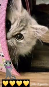 قط شيرازي