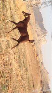 حصان عربي اصيل واهو