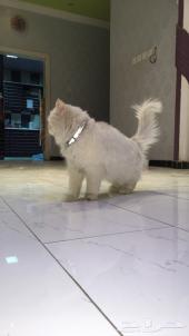 قطوه شيرازي بيضاء للبيع