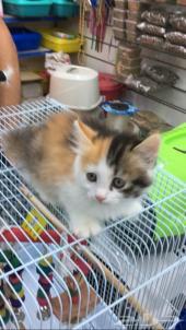 قطة شيرازي صغيرة للبيع