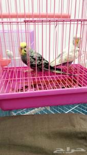 طيور حب وشرط تغريد