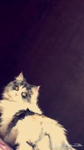 قطط شيرازية هاف بيكي للبيع