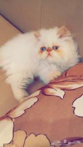 قطة نوعها هملايا بيكي فيس مستوى فاخر جدا