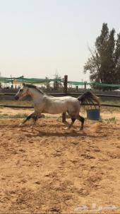 حصان شعبي كفو