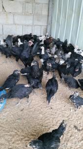 دجاج اسود صك