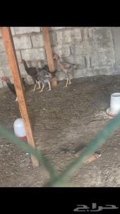 دجاج هندي مدري فارسي