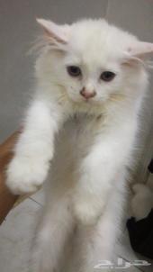 قطط صغيره للبيع بسعر مناسب