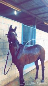 حصان  شيخ للبيع