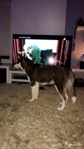 كلب هاسكي - لون مميز