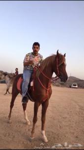 حصان عربي خط مكس