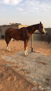 حصان انتاج للبيع