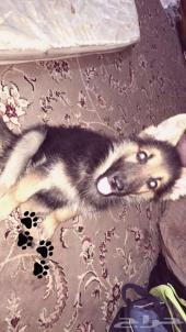 كلب جيرمن بوليسي