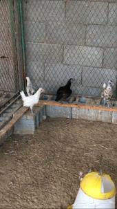 فروخ دجاج بلدي