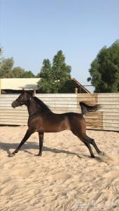 حصان عربي واهو مصري