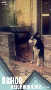 كلب هاسكي سيبيري بيور