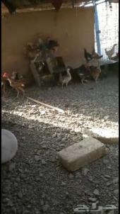 دجاج عمر 4 شهور ونص عدد تقريبا 30 او يزيد