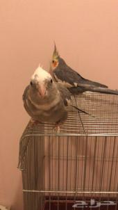 طيور الكروان