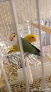 زوج طيور روز